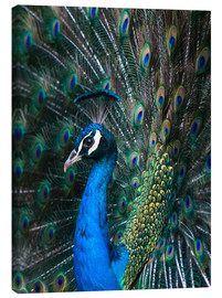 Canvastavla  Indian Peacock - Andrew Michael