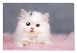 Premiumposter British longhair cat baby in white