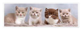 Premiumposter  British Shorthair kitten - Janina Bürger