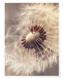 Poster Dandelion closeup nature