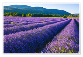 Premiumposter Lavender dream of Provence