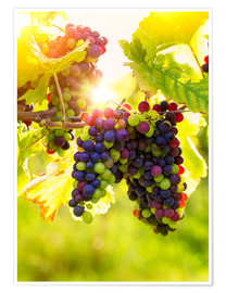 Premiumposter Bunch of black grapes on the vine